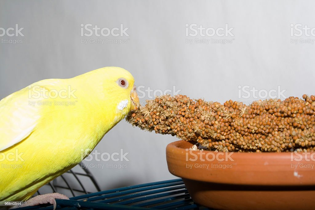 Hungry Budgie royalty-free stock photo