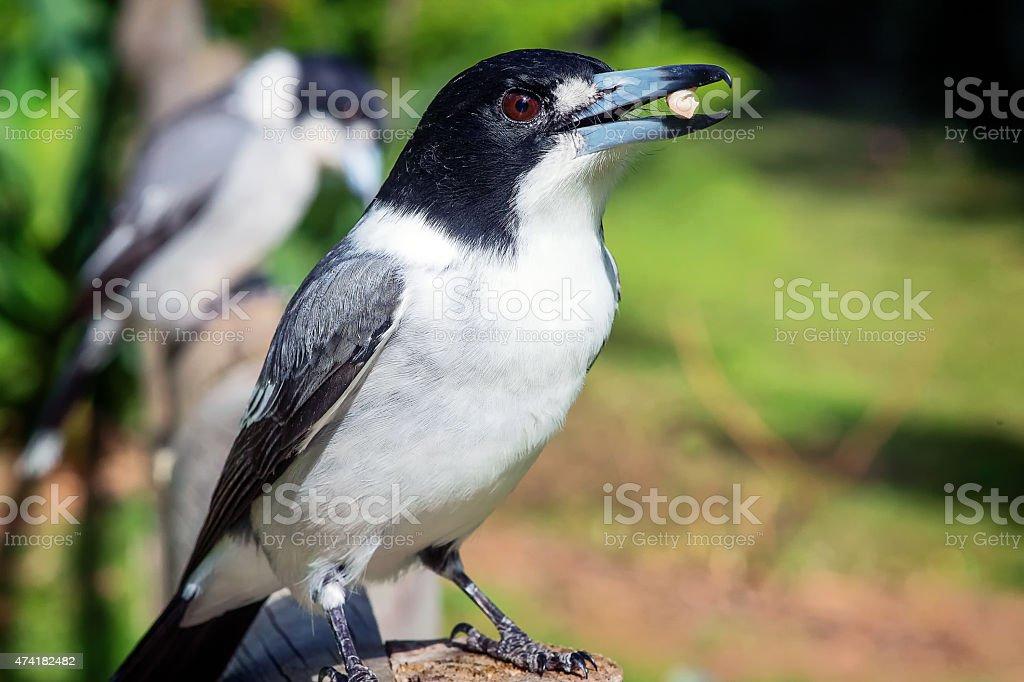 Hungry butcher bird stock photo