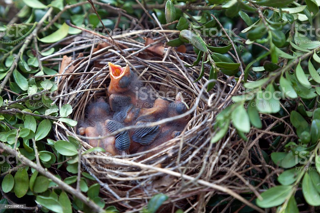 Hungry Cardinal Chicks in Nest stock photo