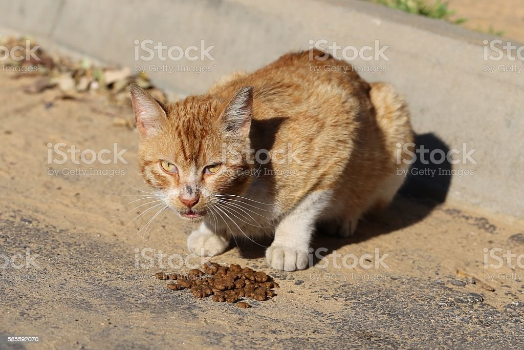Hungry Cat Eats Cat Food In The Street. stock photo