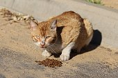 Hungry Cat Eats Cat Food In The Street.