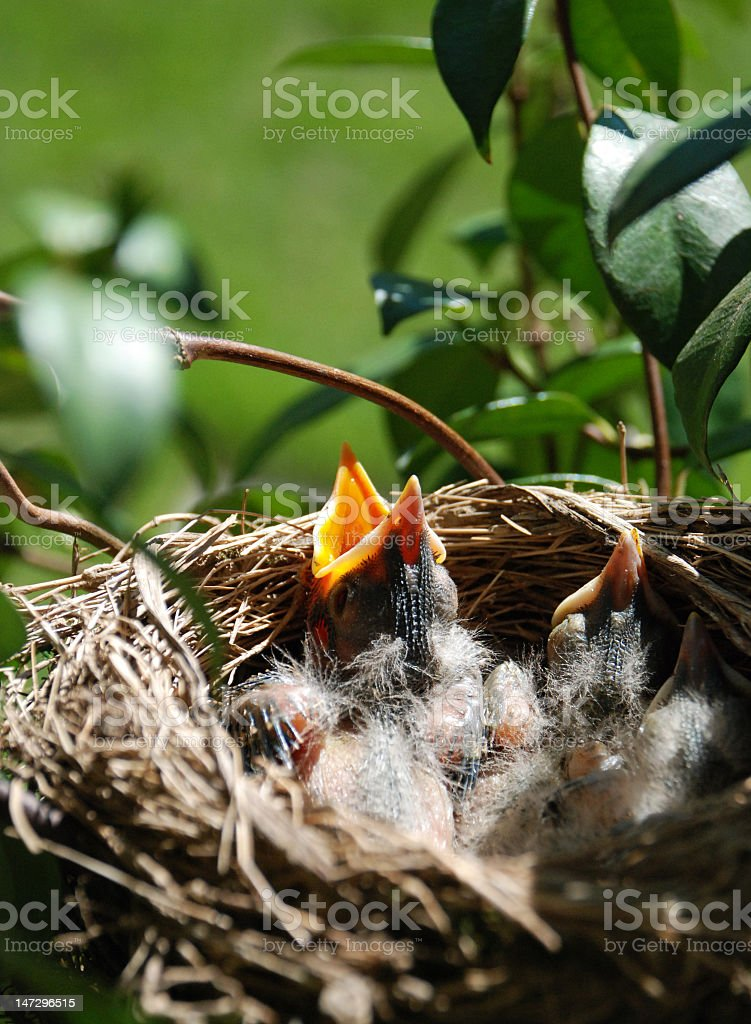 Hungry Chicks royalty-free stock photo