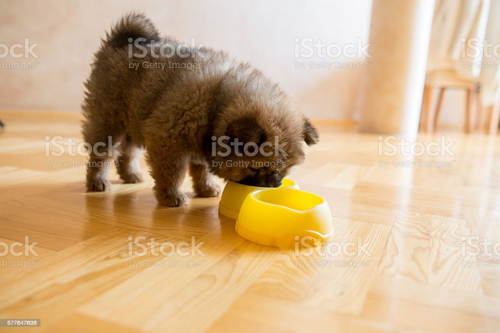 Hungry chow-chow puppy eating form dog bowl. stock photo