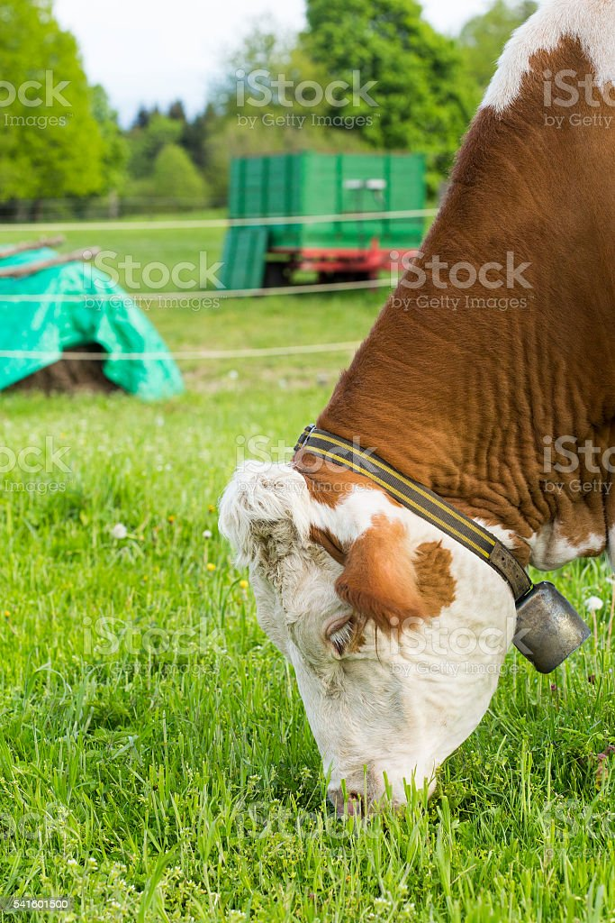 Hungry cow stock photo