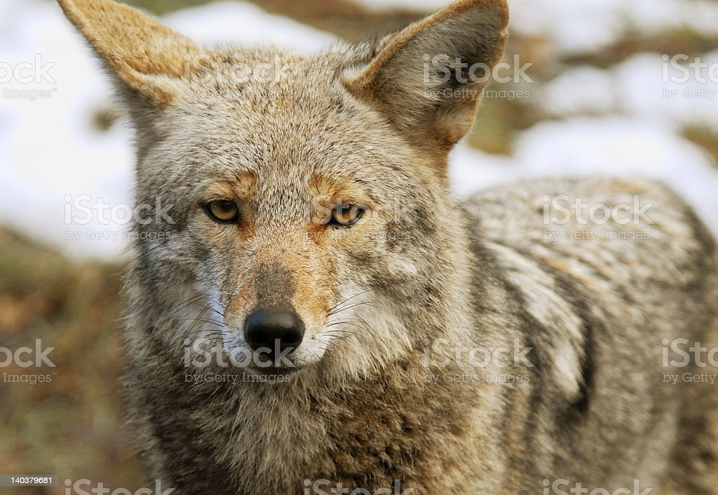 Hungry Coyote royalty-free stock photo