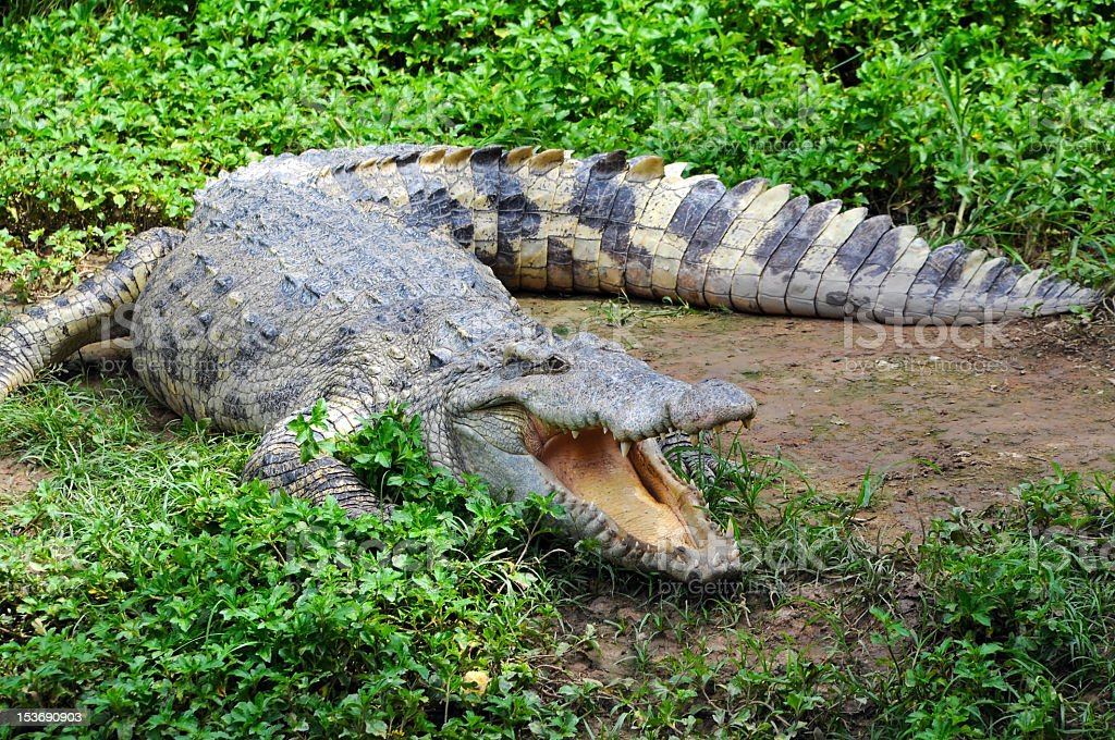 Hungry Crocodile in grassy muddy setting stock photo