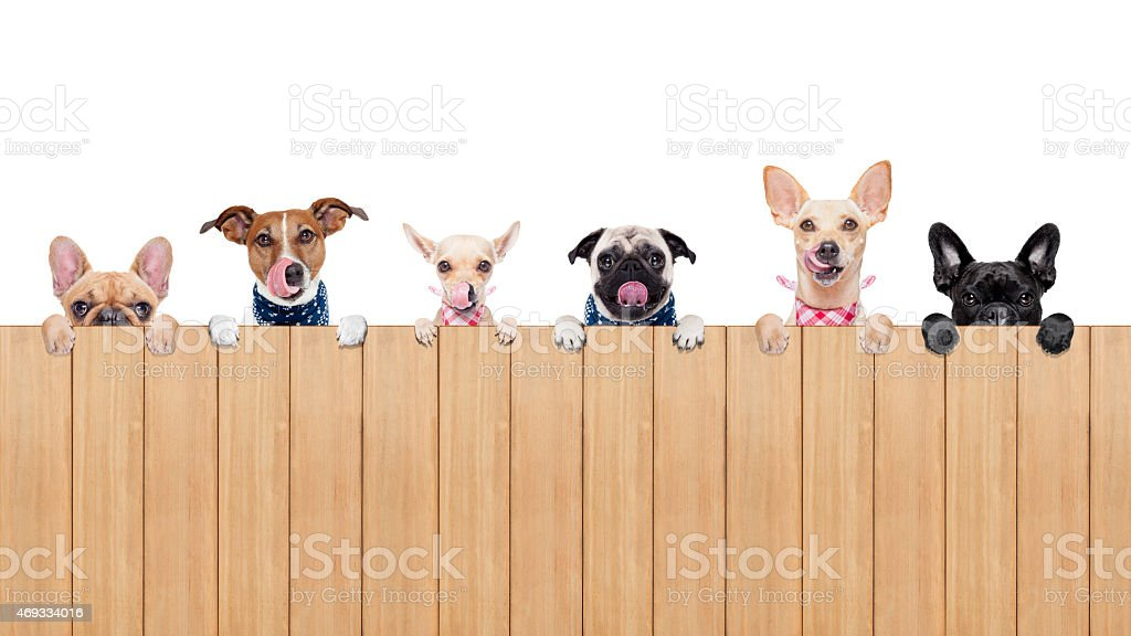 6 hungry dogs peer over a wooden fence with tongues out stock photo