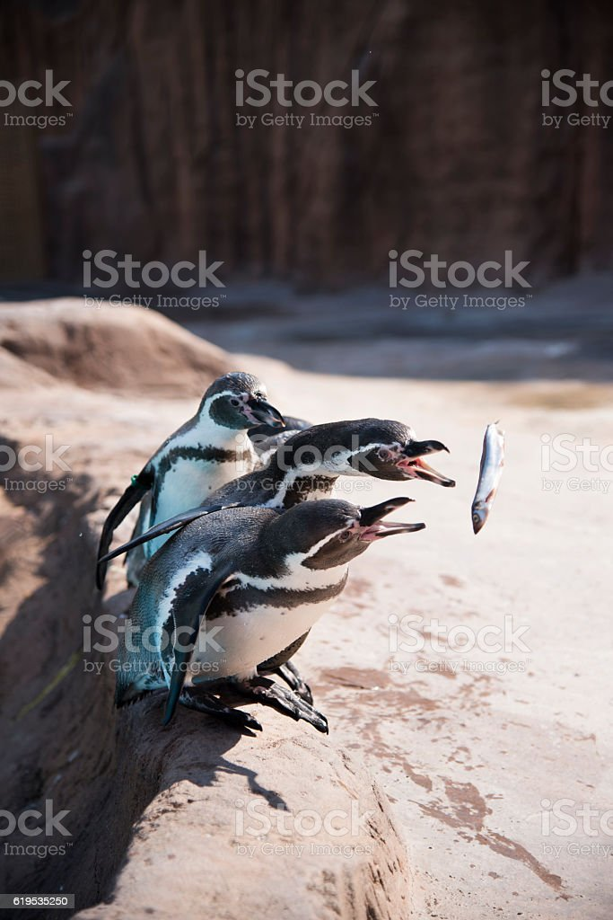 Hungry for the penguins are given food stock photo