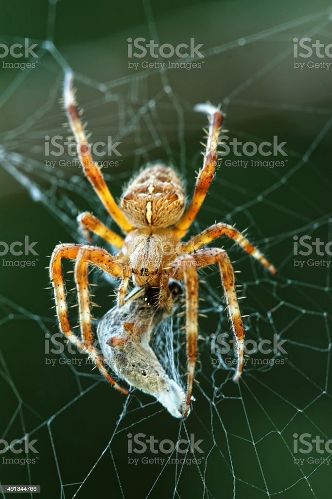 Hungry Garden Spider stock photo