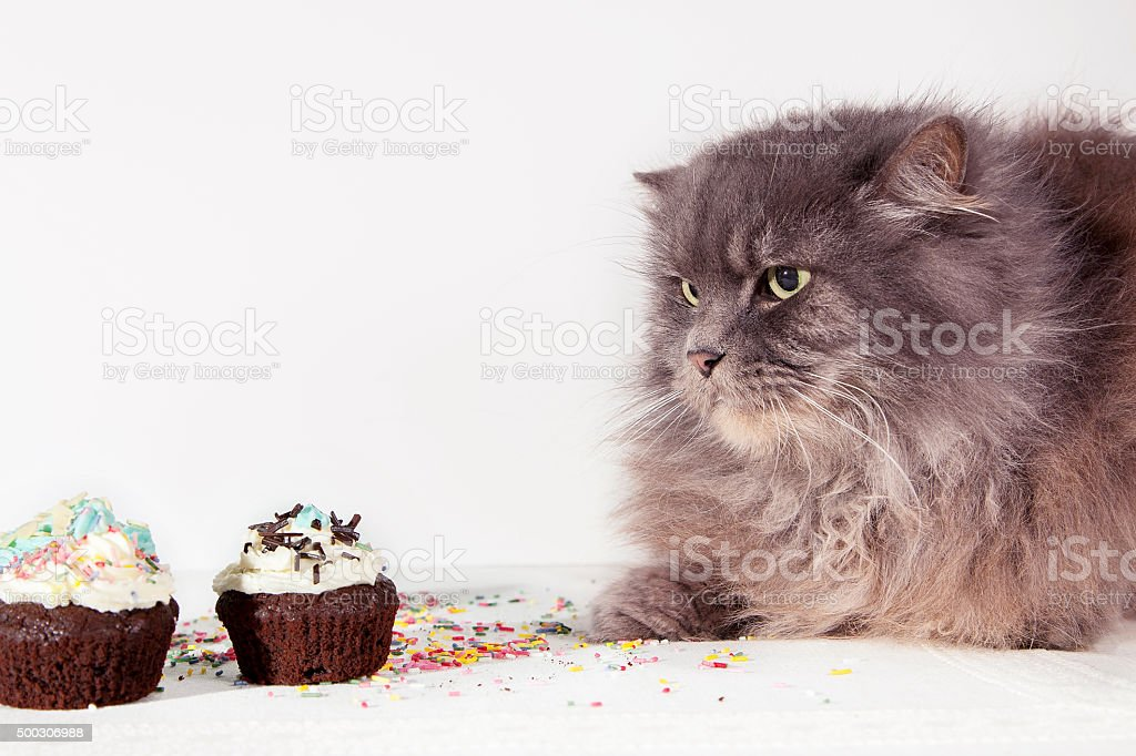 hungry gray cat looks cupcake on white background stock photo