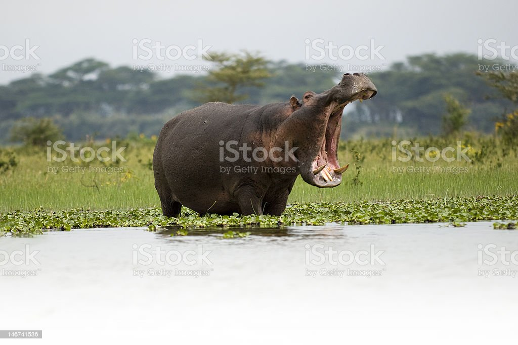 Hungry Hippo 3 royalty-free stock photo
