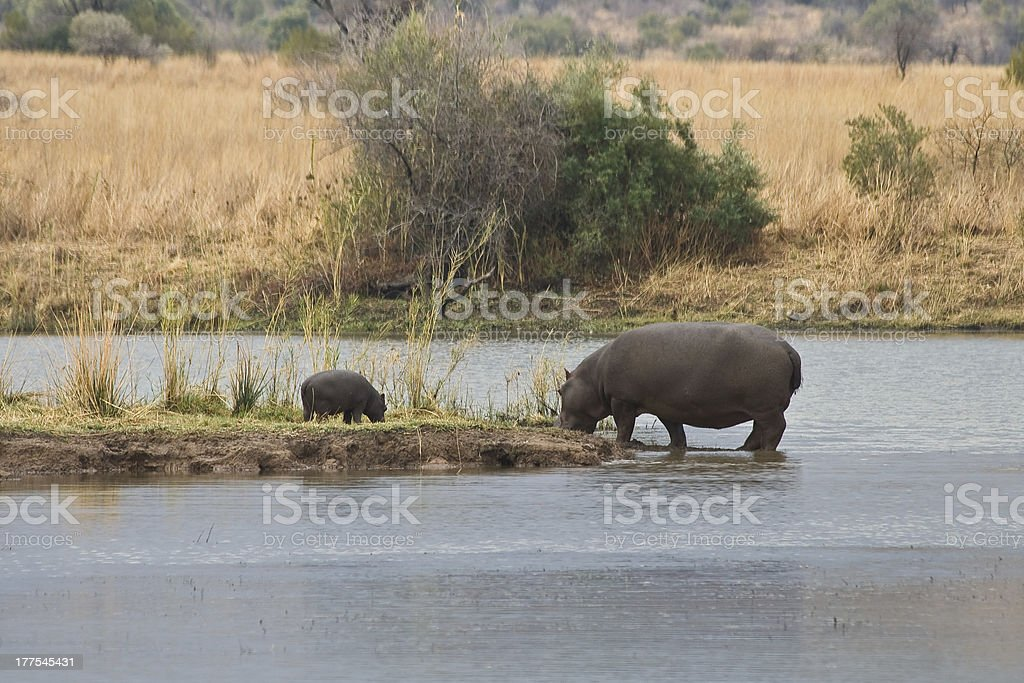 Hungry Hippo's stock photo