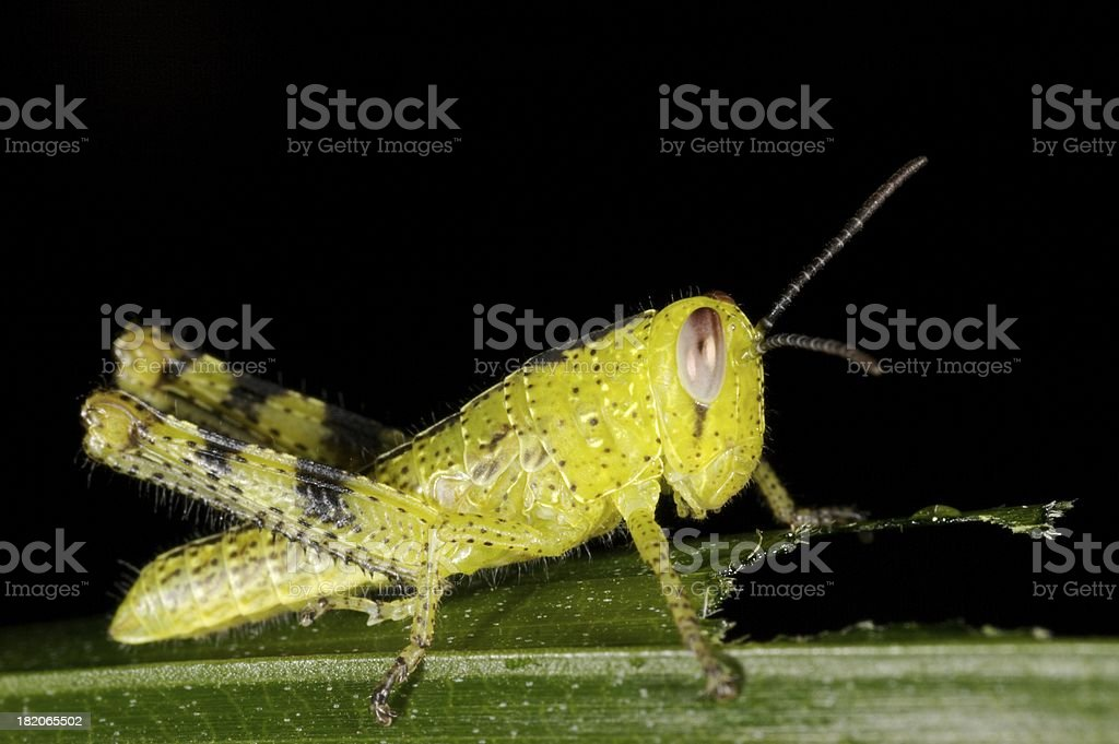 Hungry Hopper royalty-free stock photo
