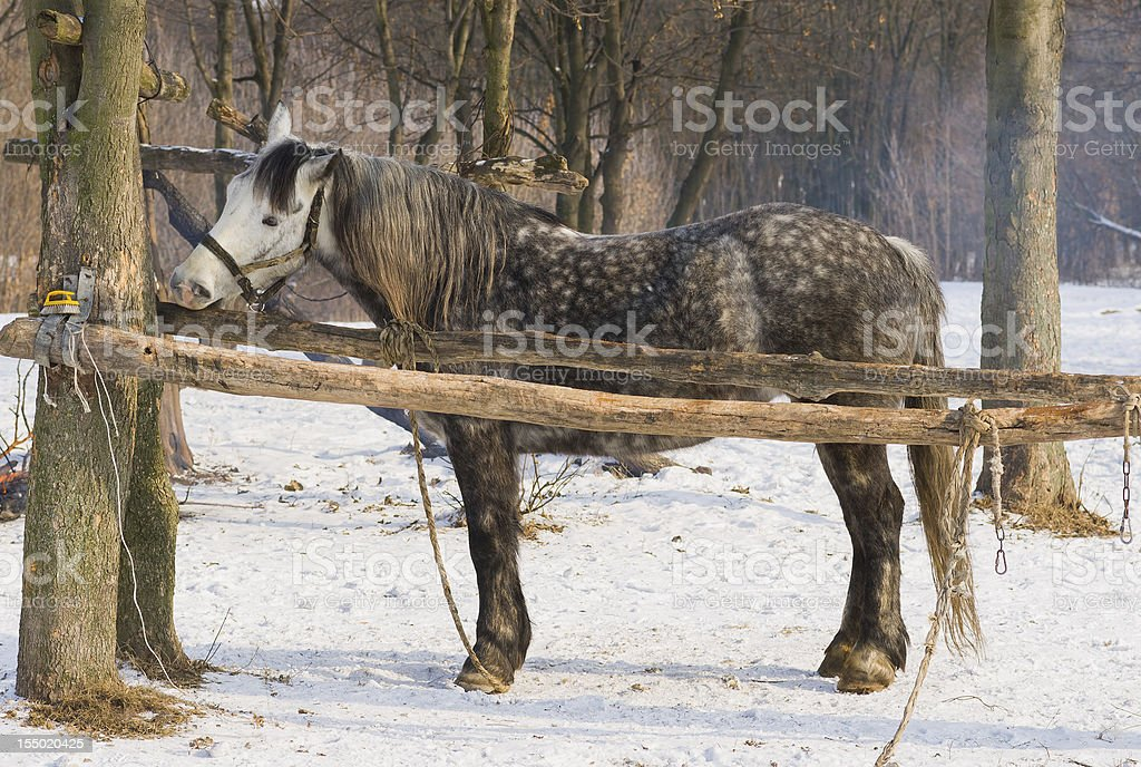Hungry horse nibbles log royalty-free stock photo