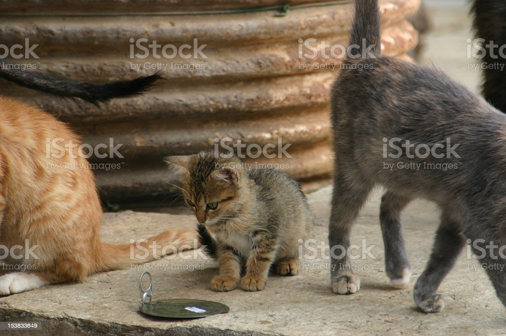 hungry kitten royalty-free stock photo