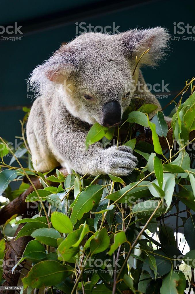Hungry Koala royalty-free stock photo