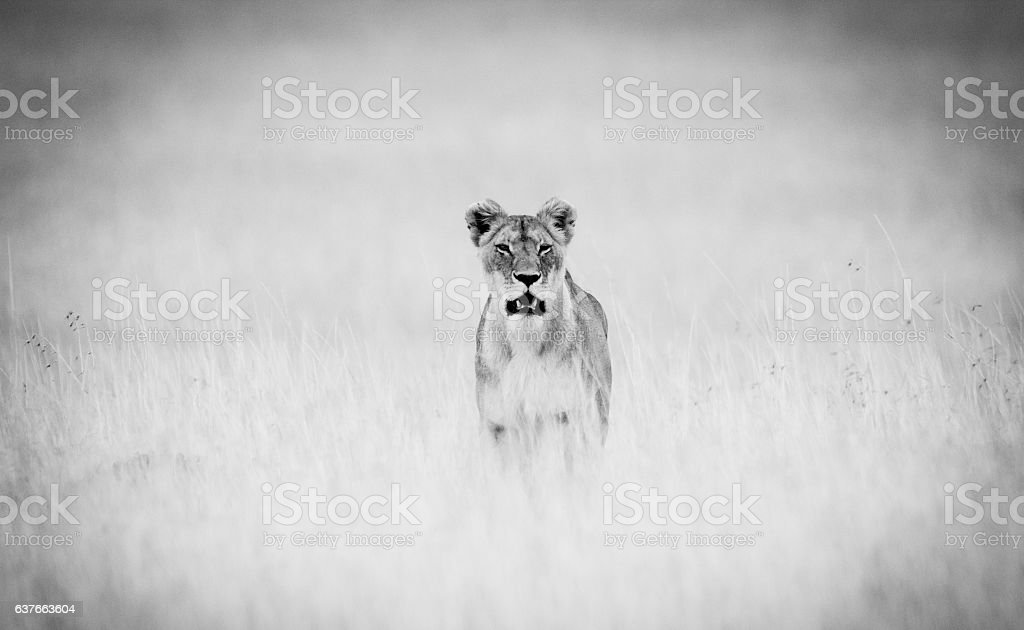 Hungry Lioness stock photo