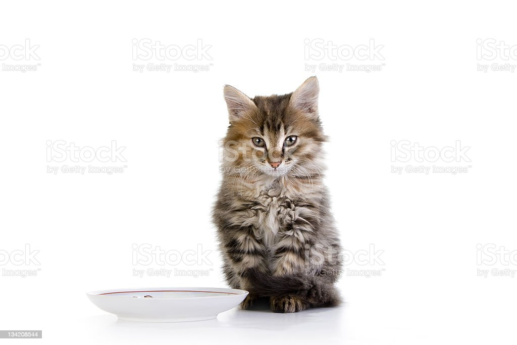 hungry little ginger kitten sits next to an empty plate stock photo