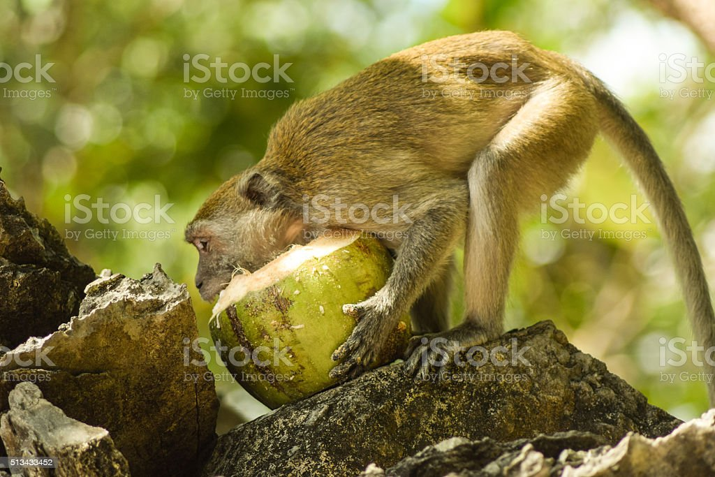 Hungry monkey digging into a coconut. stock photo