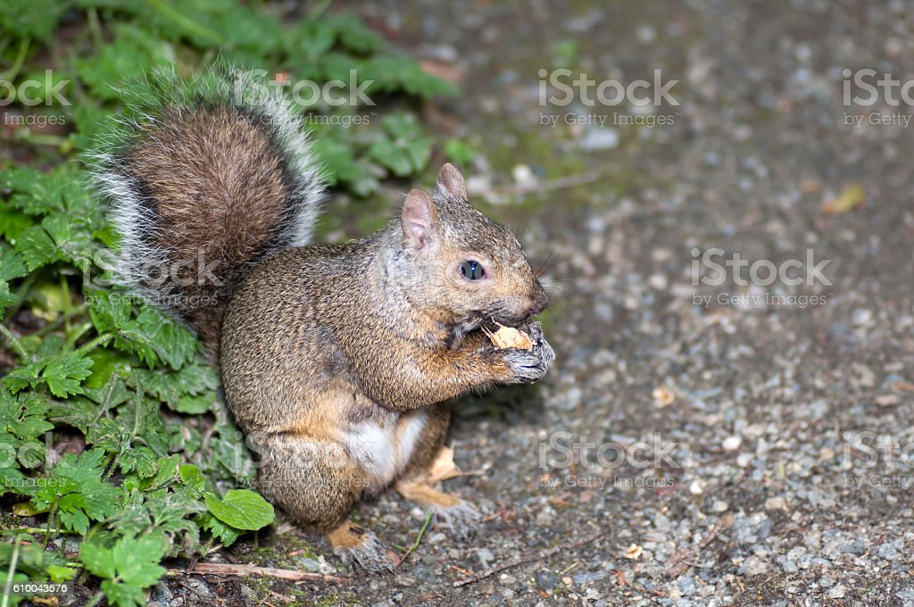 hungry North American grey squirrel chows down on a peanut stock photo
