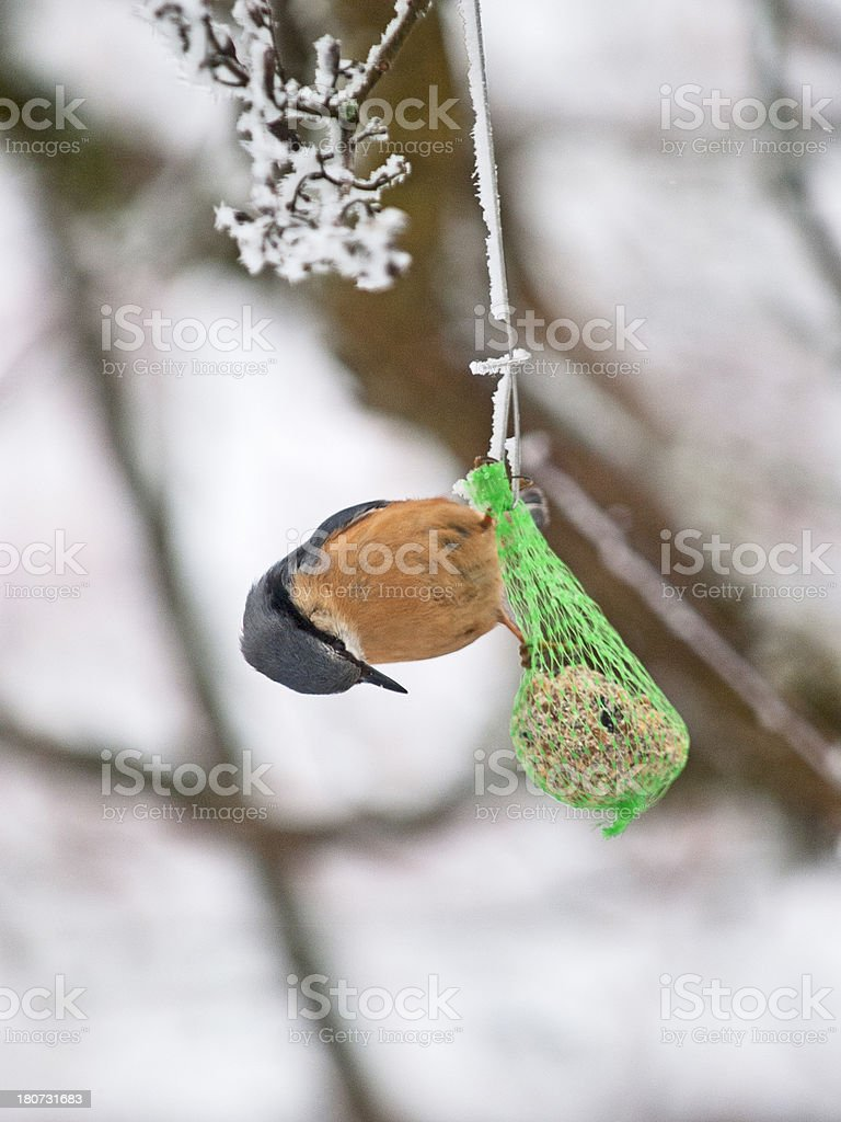 Hungry nuthatch stock photo