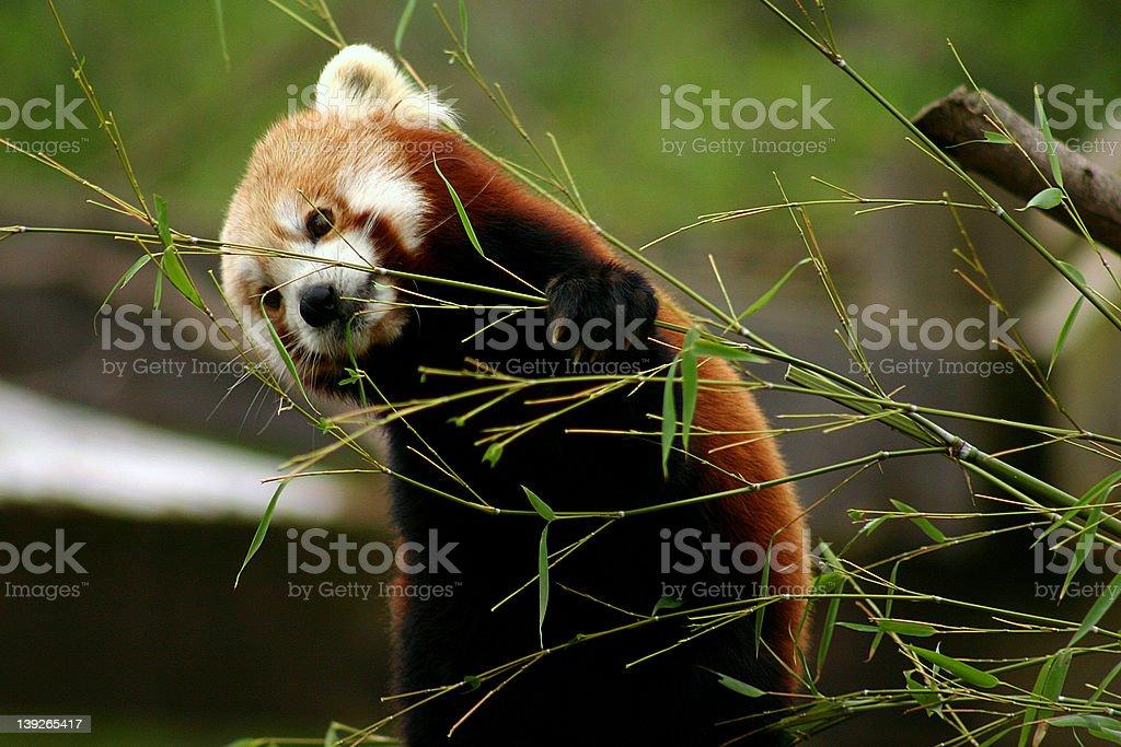 Hungry Panda royalty-free stock photo