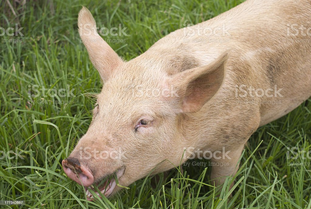 Hungry pig stock photo