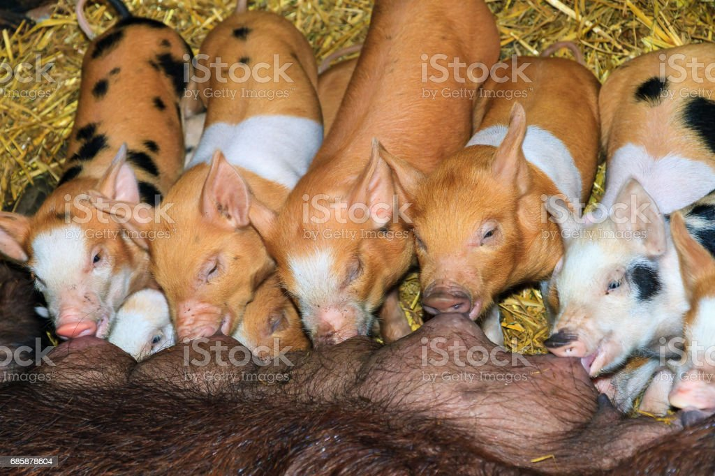 Hungry piglets stock photo