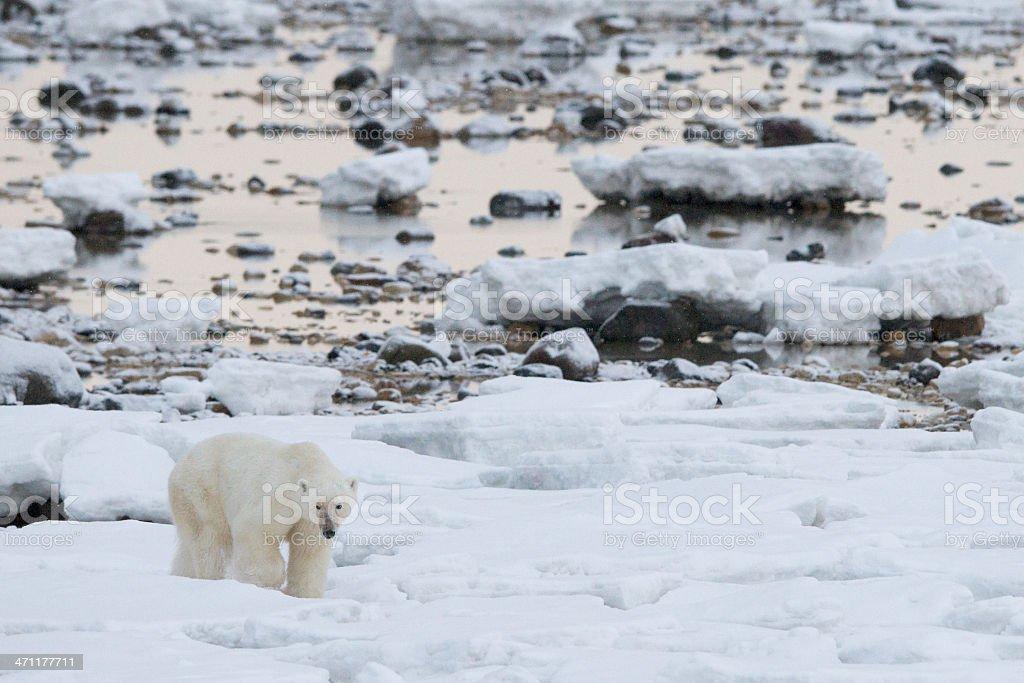 Hungry polar bear stock photo