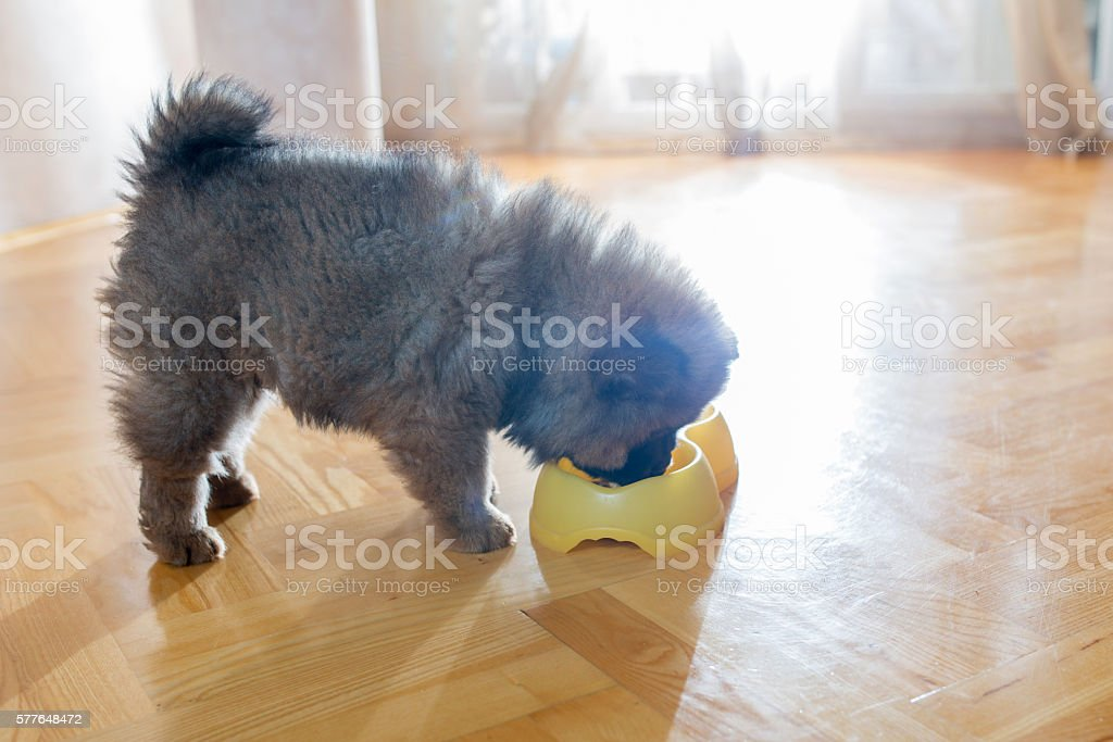 Hungry puppy eating at home. stock photo