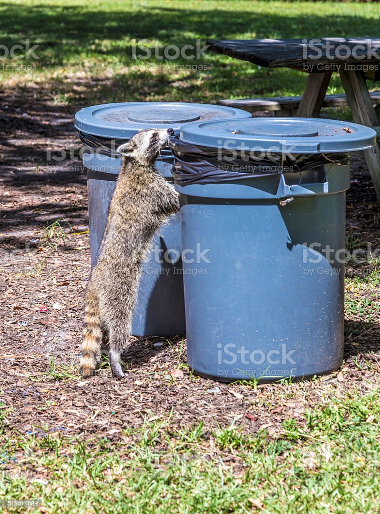 hungry raccoon searching for food stock photo