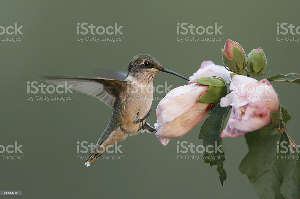 Hungry Ruby-throated Hummingbird royalty-free stock photo