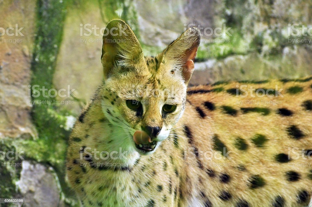 Hungry serval looking for food stock photo