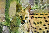 Hungry serval looking for food