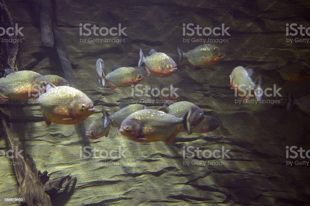Hungry swarm of piranhas stock photo