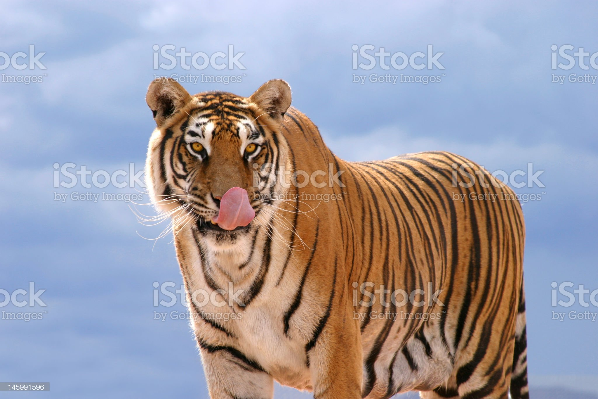 Hungry Tiger royalty-free stock photo