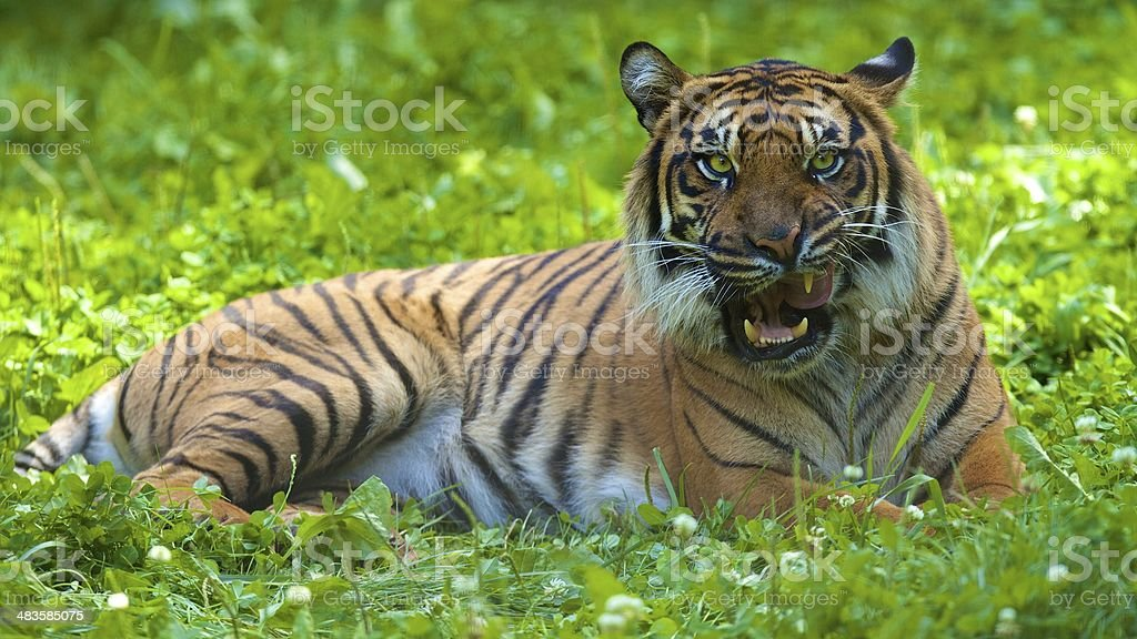 Hungry Tiger stock photo