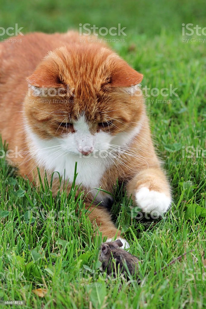 hunt mice stock photo