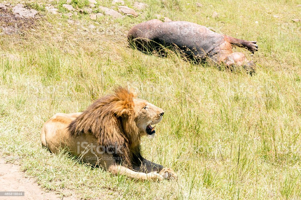 hunted hippo and lion watching - very close stock photo