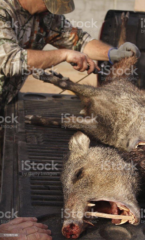 Hunter and Javelina stock photo
