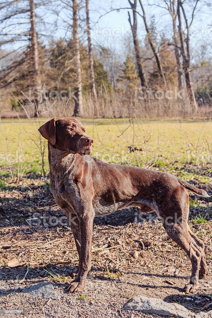 Hunter dog stock photo