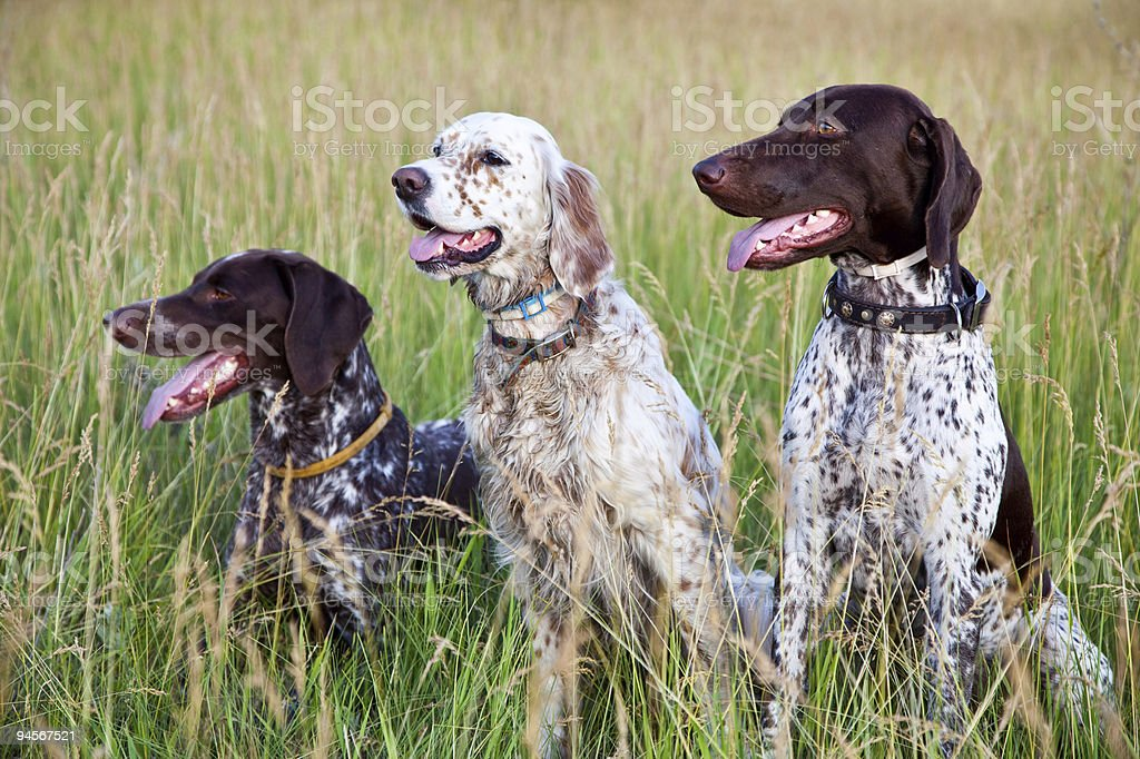 Hunter dogs stock photo