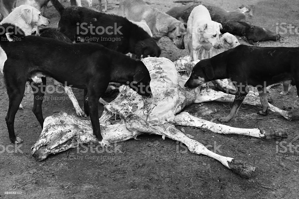 Hunter's Dog Eating Beef stock photo