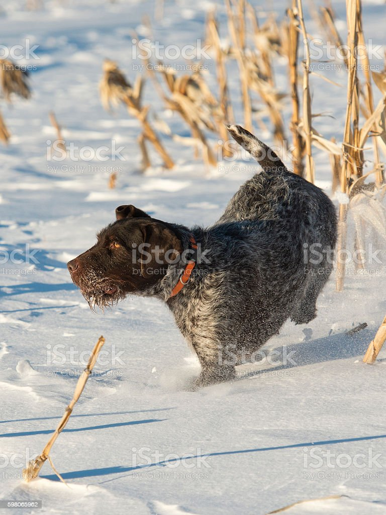 Huntign Dog stock photo