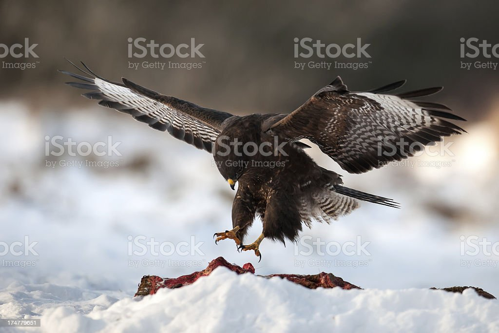 Hunting Buzzard royalty-free stock photo