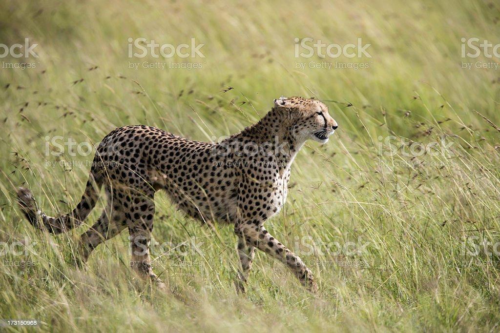 Hunting Cheetah is walking in the long grass Masai Mara stock photo