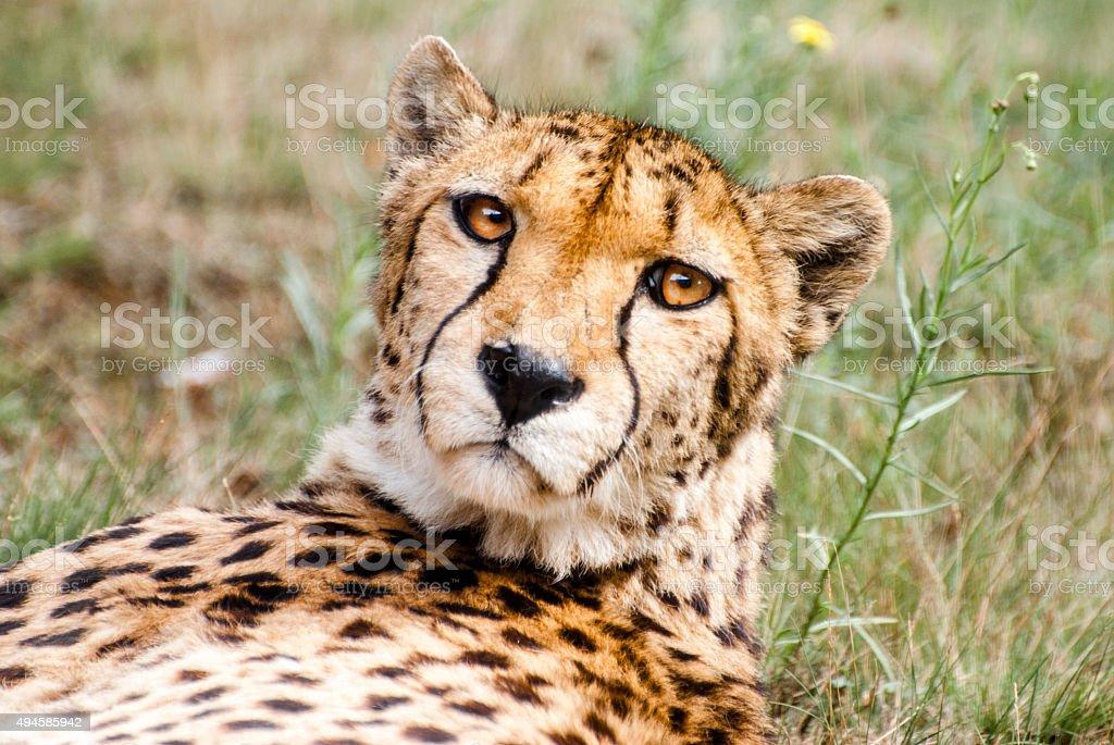 Hunting Cheetah stock photo