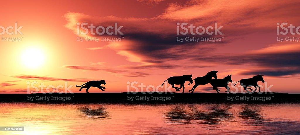 Hunting cougar. royalty-free stock photo