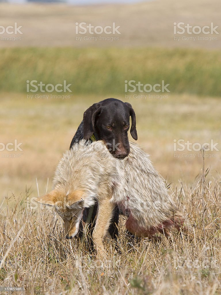 Hunting Coyotes stock photo