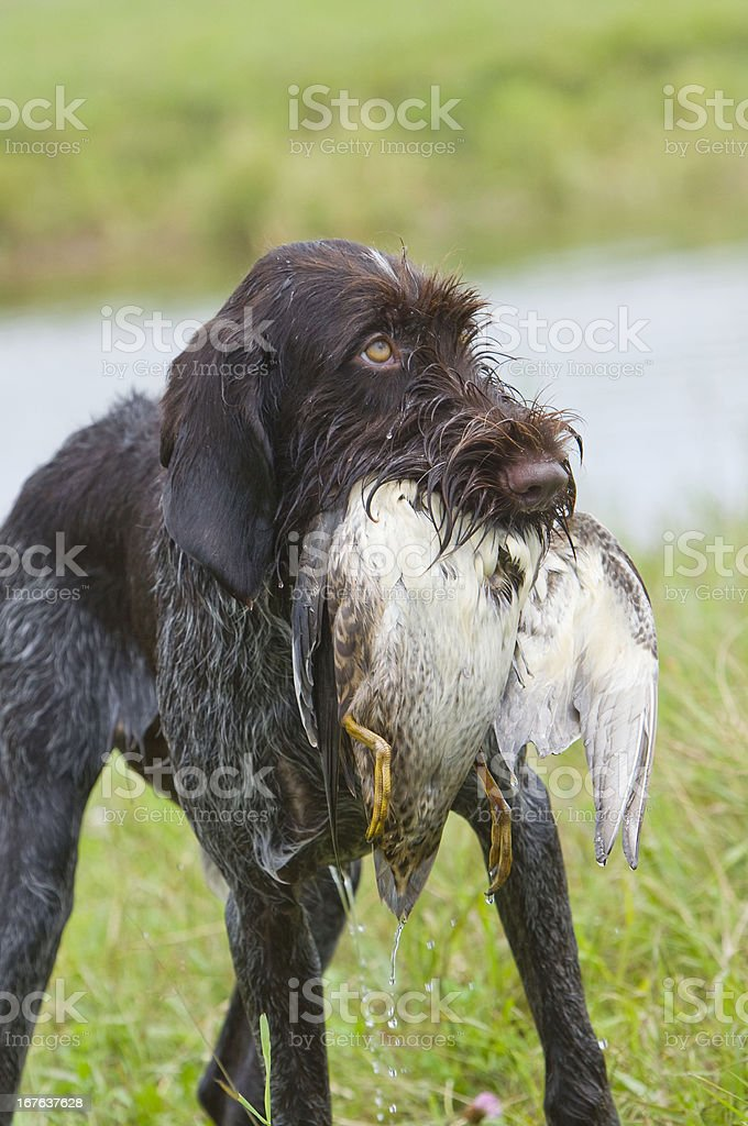 Hunting Dog and Duck stock photo